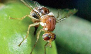 olive-fruit-fly