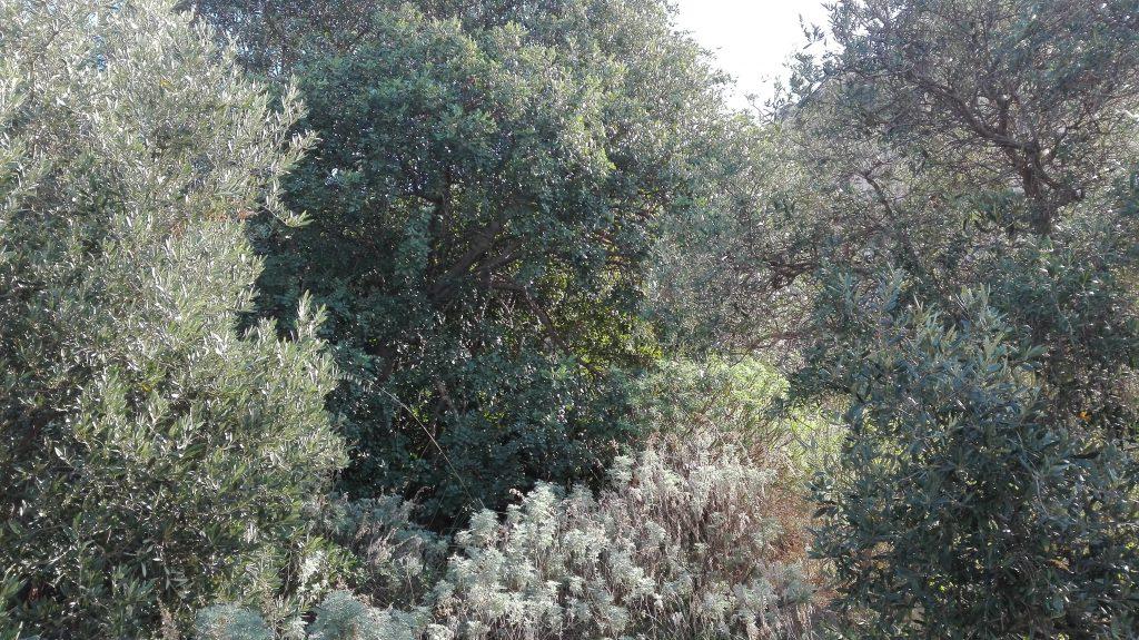 bosco-uliv-1